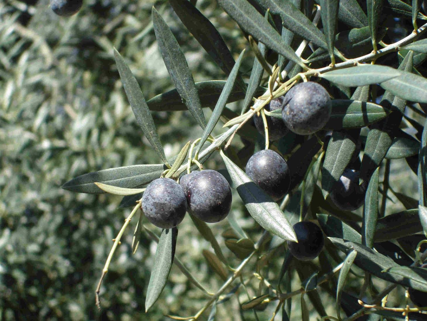 I luoghi delle olive