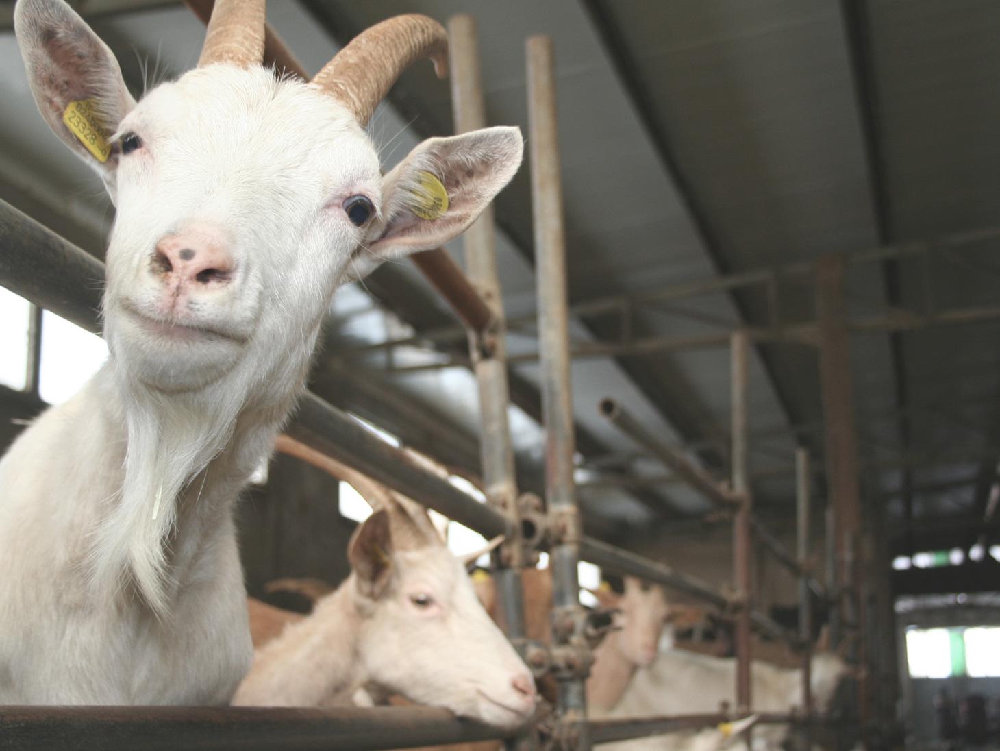 The goats of La Capreria