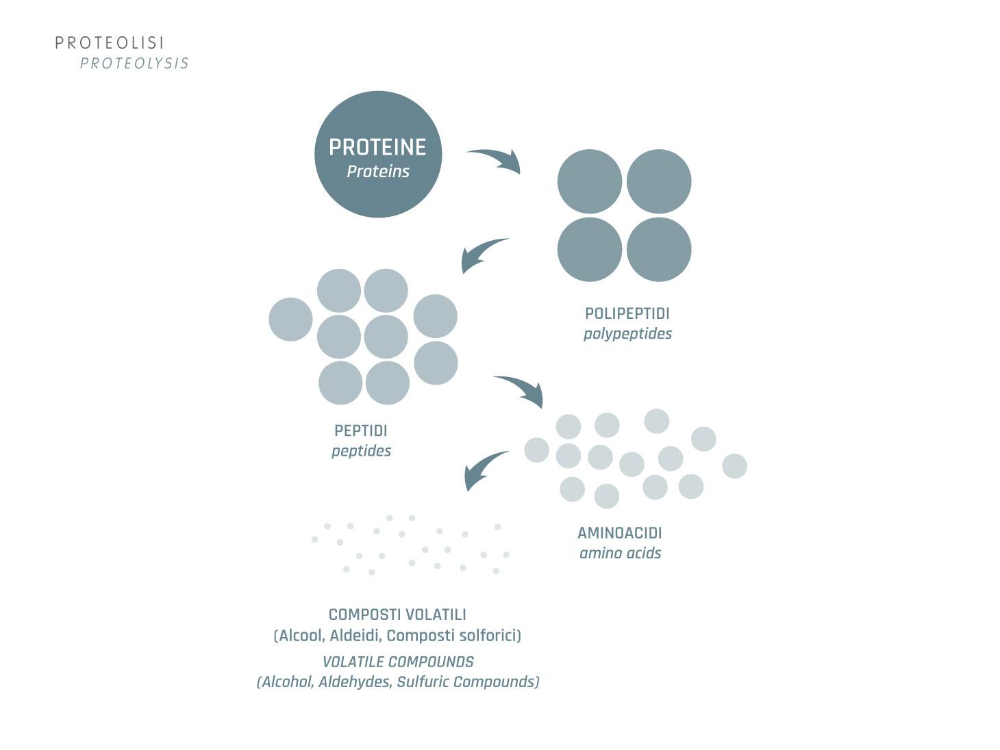 Affinamento: proteolisi