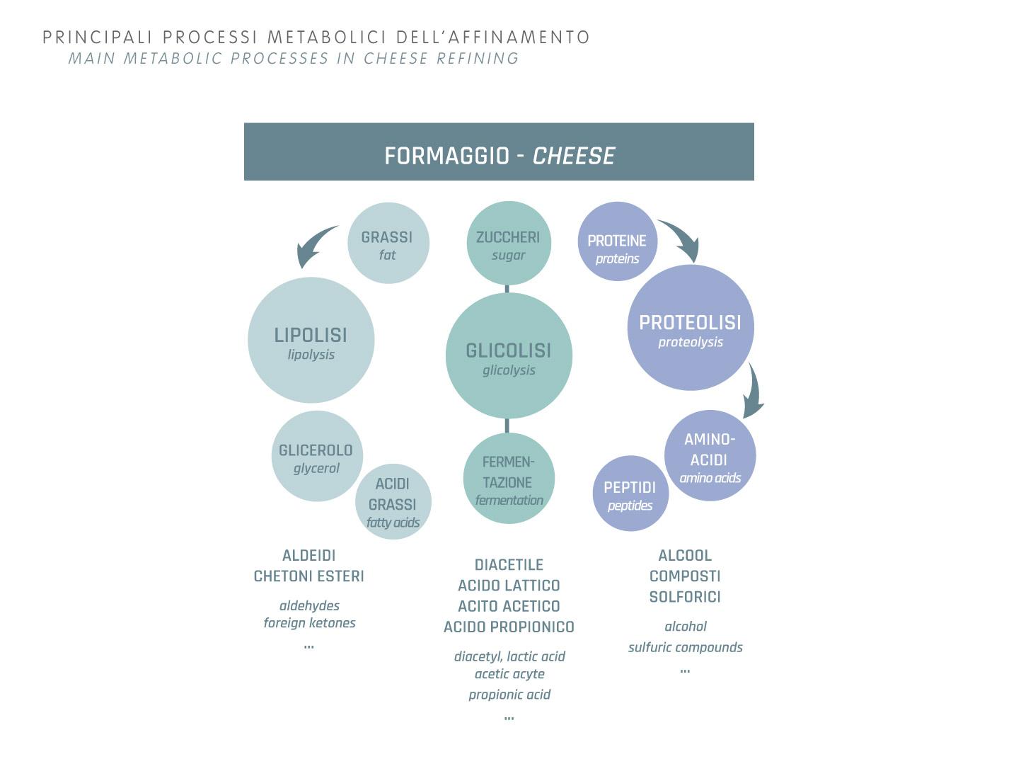 Affinamento: processi metabolici