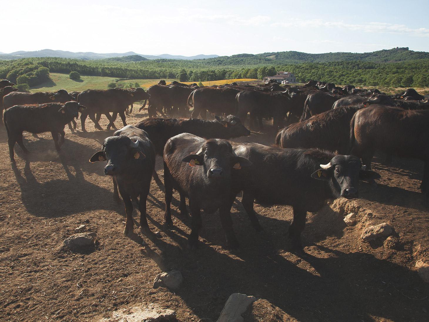 Allevamento bufale
